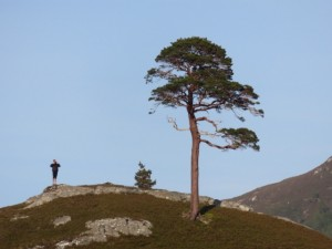 A lonely pine